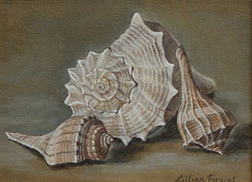 Channel Whelk, Atlantic Whelk & Lightning Whelk